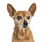 一只老德国短毛猎犬的特写镜头, 13岁 免版税图库摄影