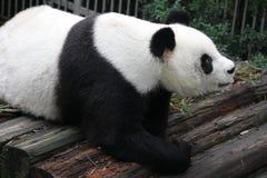 一只老母熊猫在中国 免版税库存照片