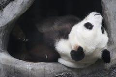 一只老熊猫在中国 免版税库存照片