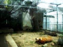 一只老虎在动物园里 免版税库存图片
