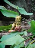 一只老虎的雕塑在地面上的 库存图片