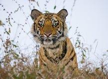 一只老虎的画象在狂放的 印度 17 2010年bandhavgarh bandhavgarth地区大象印度madhya行军国家公园pradesh乘驾umaria 中央邦 免版税图库摄影