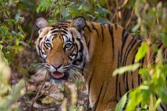一只老虎的画象在狂放的 印度 17 2010年bandhavgarh bandhavgarth地区大象印度madhya行军国家公园pradesh乘驾umaria 中央邦 图库摄影
