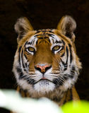 一只老虎的画象在狂放的 印度 17 2010年bandhavgarh bandhavgarth地区大象印度madhya行军国家公园pradesh乘驾umaria 中央邦 免版税库存图片