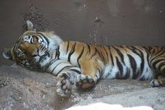 一只老虎 免版税库存照片