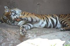 一只老虎 免版税库存图片