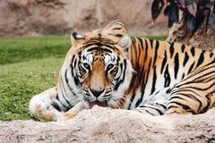 一只老虎 图库摄影