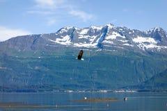 一只老鹰在飞行中在valdez 免版税库存照片