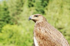 一只老鹰的外形反对绿色叶子的 库存图片