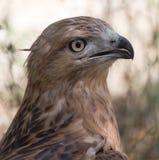 一只老鹰的画象在动物园里 免版税图库摄影