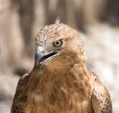 一只老鹰的画象在动物园里 库存照片