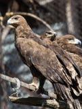 一只老鹰的画象在动物园里 免版税库存照片