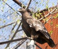 一只老鹰的画象在动物园里 库存图片