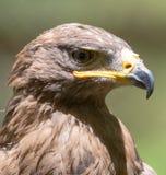 一只老鹰的画象本质上 图库摄影