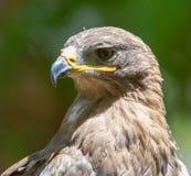 一只老鹰的画象本质上 库存图片