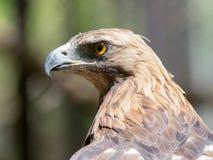 一只老鹰的画象本质上 免版税库存图片