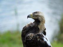 一只老鹰的纵向在一个模糊的背景的 免版税库存照片