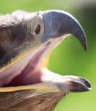 一只老鹰的额嘴本质上 库存图片