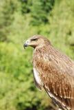 一只老鹰的骄傲的外形反对绿色叶子的 图库摄影