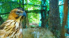 一只老鹰的骄傲的神色在笼子的 免版税库存照片