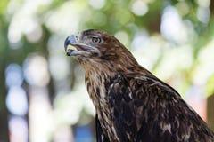 一只老鹰的画象反对被弄脏的背景的 免版税库存照片