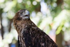 一只老鹰的画象反对被弄脏的背景的 免版税库存图片