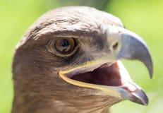 一只老鹰的画象在公园 库存照片