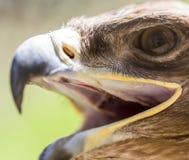 一只老鹰的画象在公园 免版税库存照片