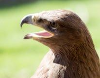 一只老鹰的画象在公园 库存图片