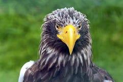 一只老鹰 图库摄影