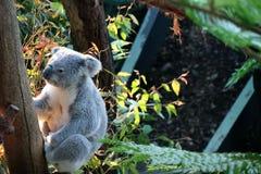 一只考拉在Tazonga动物园悉尼里 免版税库存图片