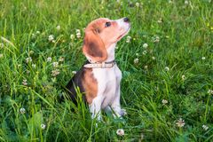一只聪明的小狗的画象与温和的恳求的神色的 在步行的小猎犬小狗在一个平静的夏天晚上 免版税图库摄影