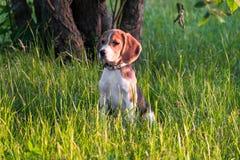 一只聪明的小狗的画象,调查距离殷勤地 在步行的小猎犬小狗在一个平静的夏天晚上 图库摄影