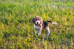 一只聪明的小狗的画象,调查距离殷勤地 在步行的小猎犬小狗在一个平静的夏天晚上 库存图片
