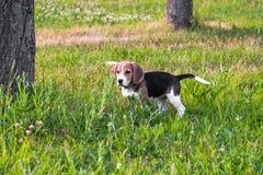 一只聪明的小狗的画象,调查距离殷勤地 在步行的小猎犬小狗在一个平静的夏天晚上 免版税库存照片