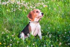一只聪明的小猎犬小狗的画象与温和的恳求的神色的在开花的草坪 免版税库存图片