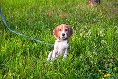 一只聪明的小猎犬小狗的画象在开花的草坪的 库存照片