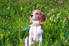 一只聪明的小猎犬小狗的画象在开花的草坪的 免版税库存照片