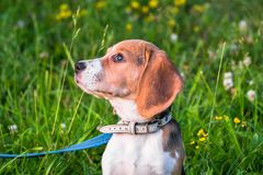一只聪明的小猎犬小狗的画象在开花的草坪的 免版税库存图片