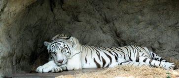 一只聪明的白色老虎 免版税图库摄影