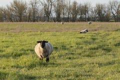 一只肥胖萨福克母羊 免版税库存照片