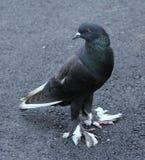 一只脚步轻的鸽子 免版税库存图片