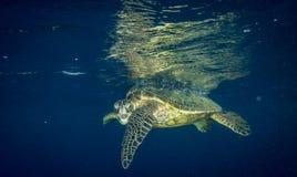 一只脾气坏的乌龟凝视照相机人 免版税图库摄影