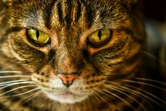 一只脾气坏的平纹家猫的宏指令 库存照片