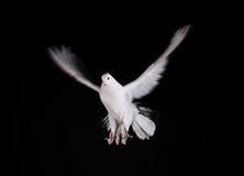 一只自由飞行白色鸠 免版税库存图片