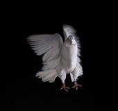 一只自由飞行白色鸠 免版税图库摄影