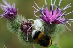 一只花卉白种人蜘蛛和土蜂的宏指令 免版税库存照片