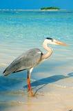 一只苍鹭在马尔代夫 图库摄影