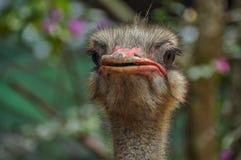 一只英俊的驼鸟准备乘坐任何人 库存图片