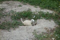 一只草原土拨鼠在南达科他 库存图片